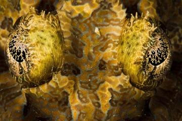 Crocodilefish Eyes Detail