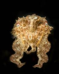 Reef Cuttlefish Pose