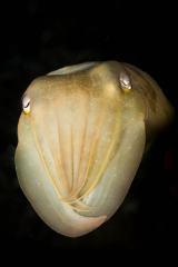 Cuttlefish Portrait #1