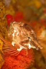 Diving along the lush reefs of Alaska's Inian Islands, I found this grunt sculpin which made a wodnerful macro subject.