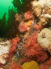 Crimson anemones mix with white plumose anemones and strawberry octocorals on Browning Wall in British Columbia, Canada.