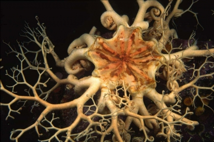 One of the most intricate echinoderms is the basket star.  This close-up underwater image from Vancouver Island shows the pentaradial symmetry of the body and the intricacy of the branching arms which they use for feeding.