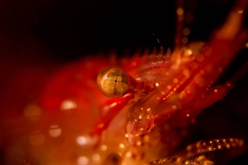 One of the most fascinating aspects of underwater photography is the myriad of interesting eyes. This red blade shrimp has mutli-faceted eyes which ar enot unlike an insect's eyes.