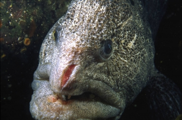 Wolf eels often battle each other for territory and this individual shows off its scarred face.  This underwater macro portrait was made off Dillon Rock on Vancouver Island, British Columbia.