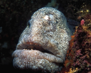 A wolf eel missing one eye poses underwater for a portrait at Dillon Rock near Port Hardy on the north end of Vancouver Island in British Columbia, Canada.