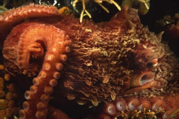 Giant Pacific Octopus #2