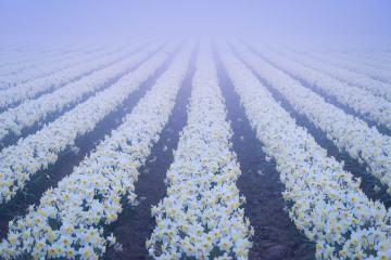 Foggy Daffodil Days