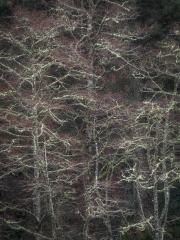Lichen Covered Trees