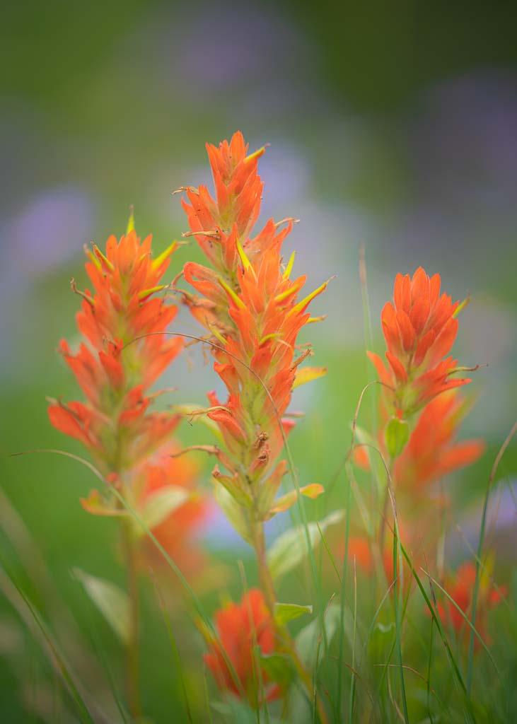 Red paintbrush wildflowers grow abundantly in summer at Mount Rainier