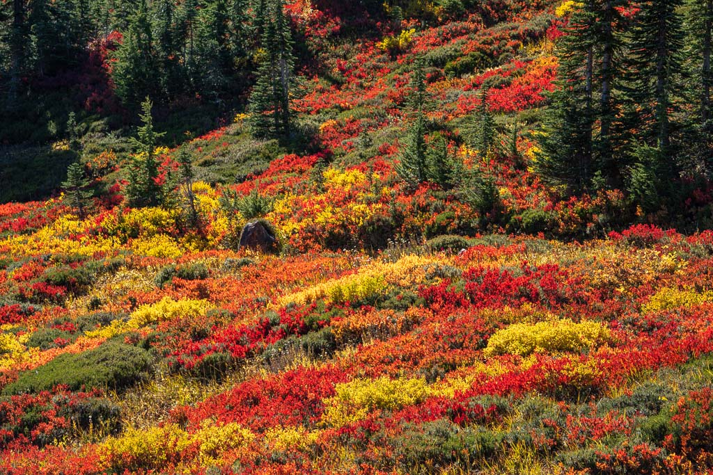 Fall foliage along the hillside with conifer trees