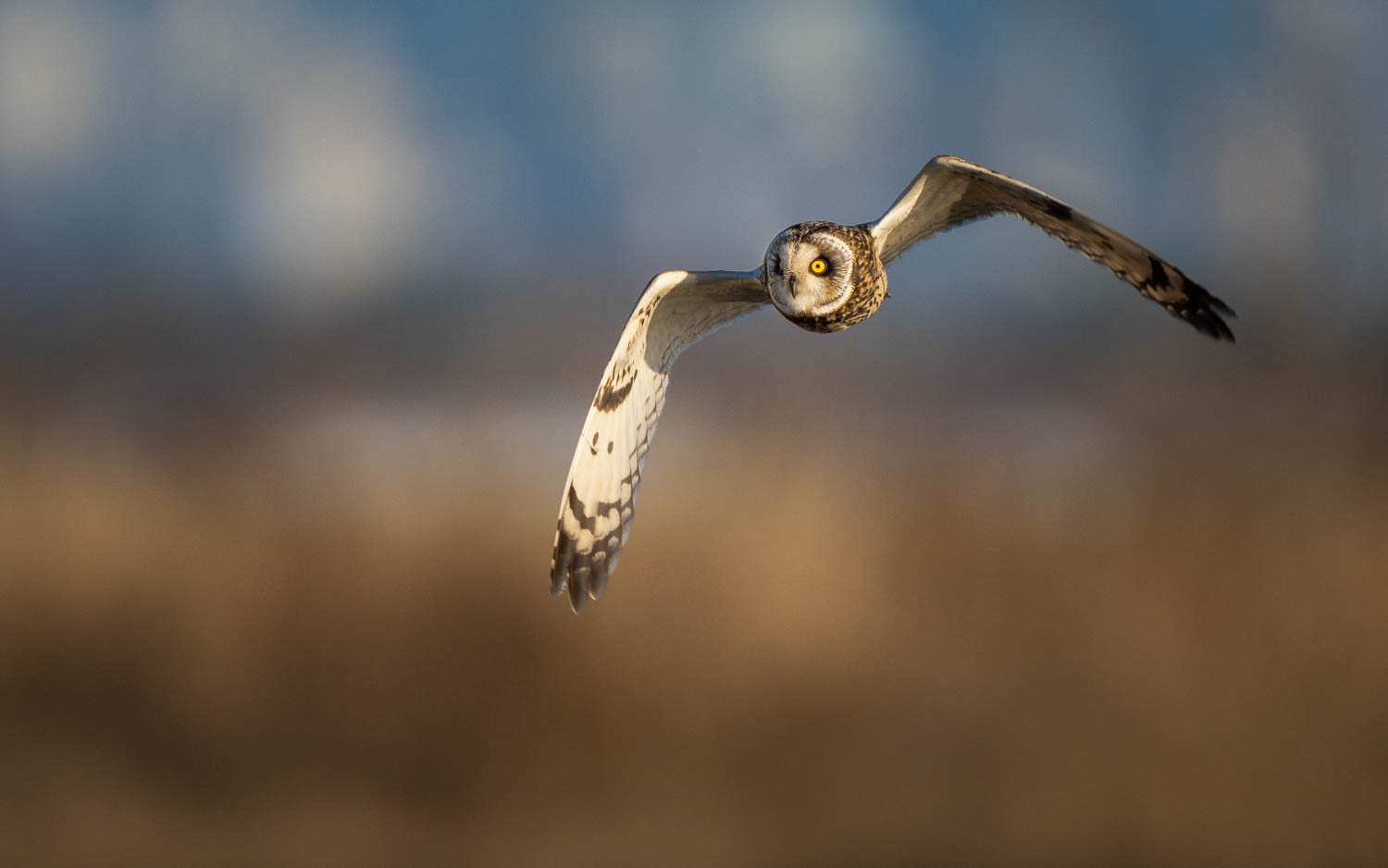 short-eared owl in flight with golden light
