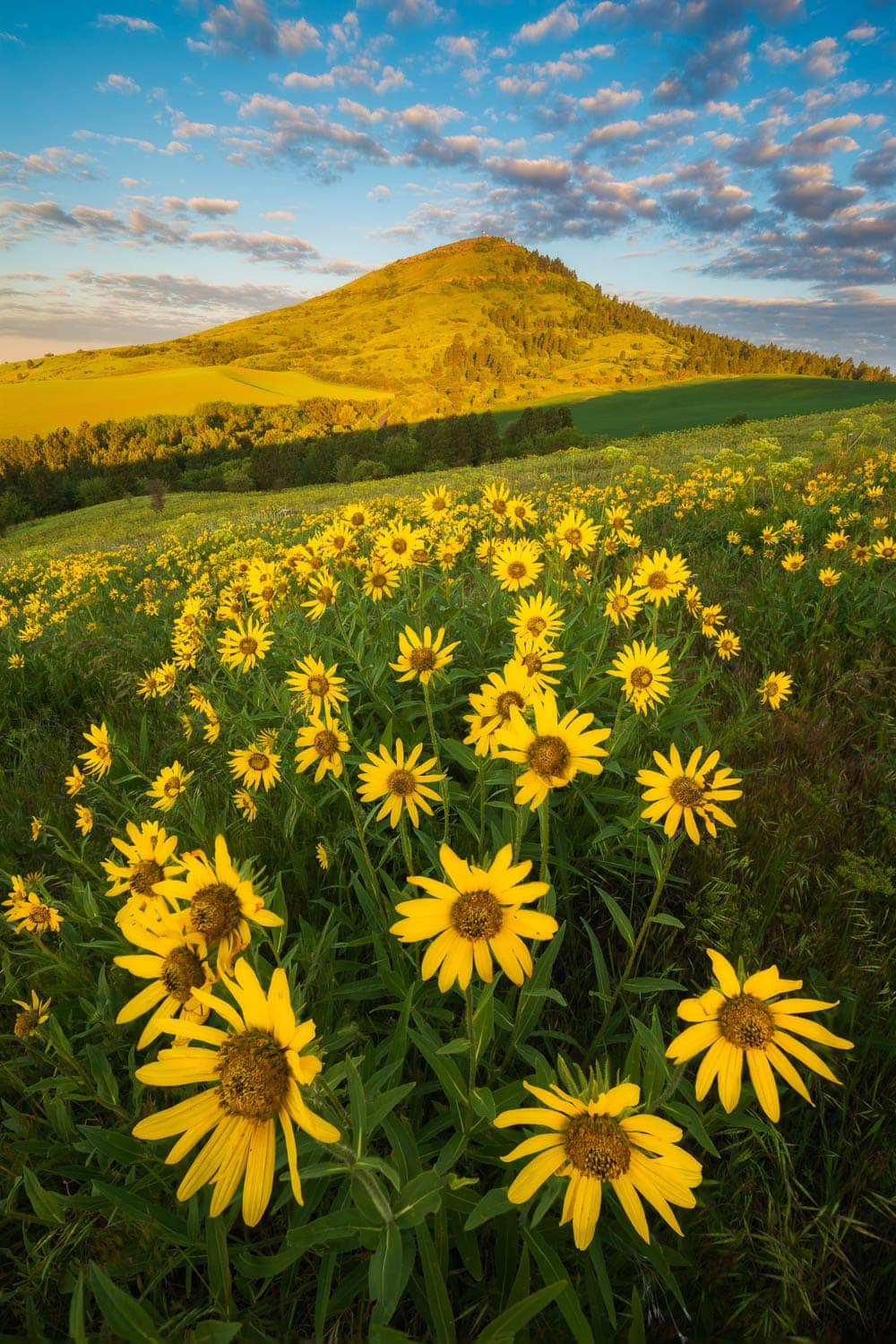 Sunrise over field of flowers and Steptoe Butte