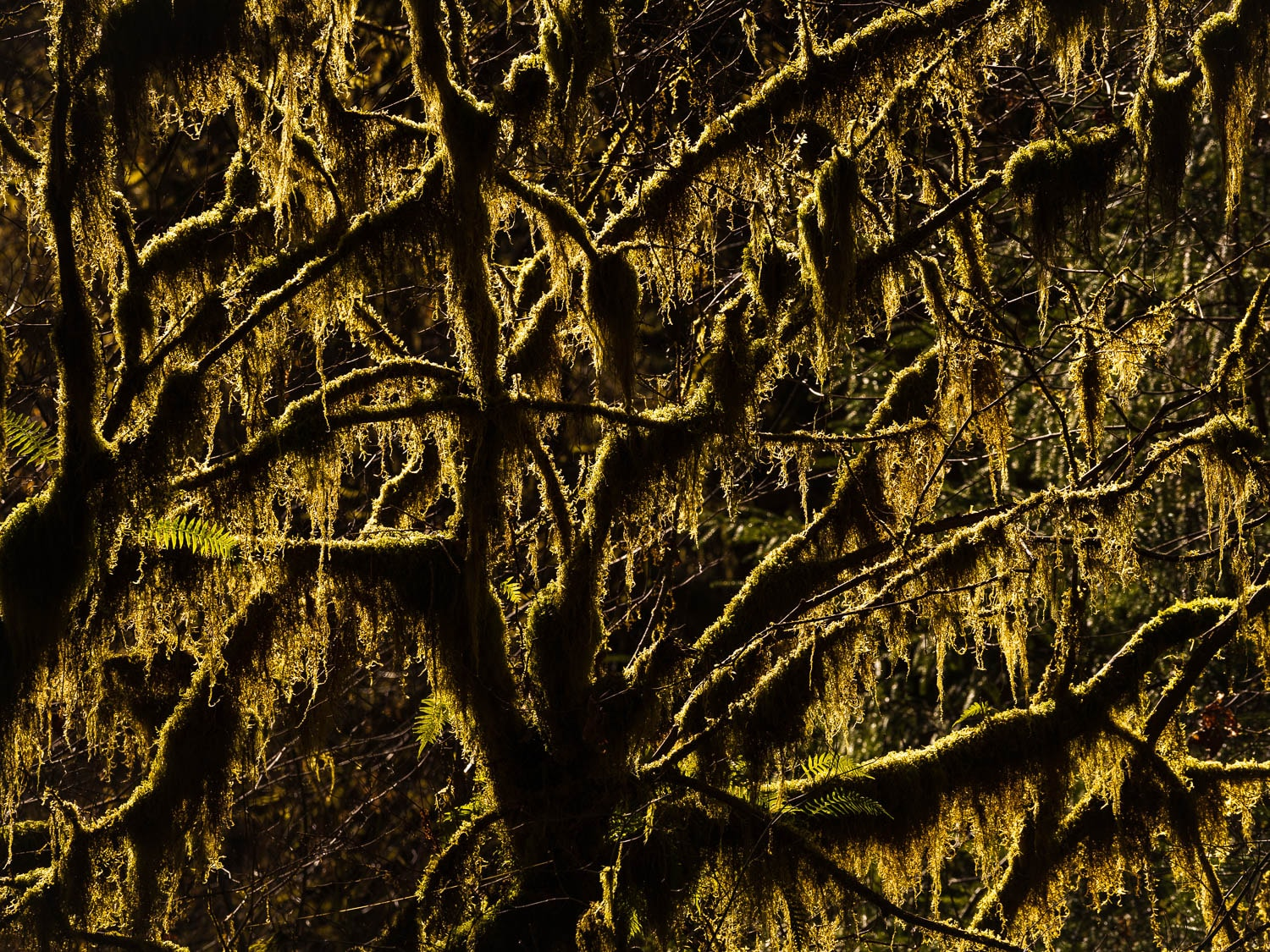 Back lit mosses hang with warm light off tree branches