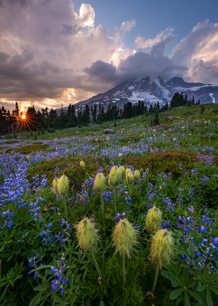 wildflower meadow and Mount Rainier at sunset