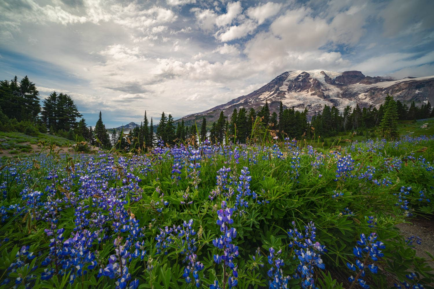 Field of purple lupine beneath a cloud sky and mountain peak