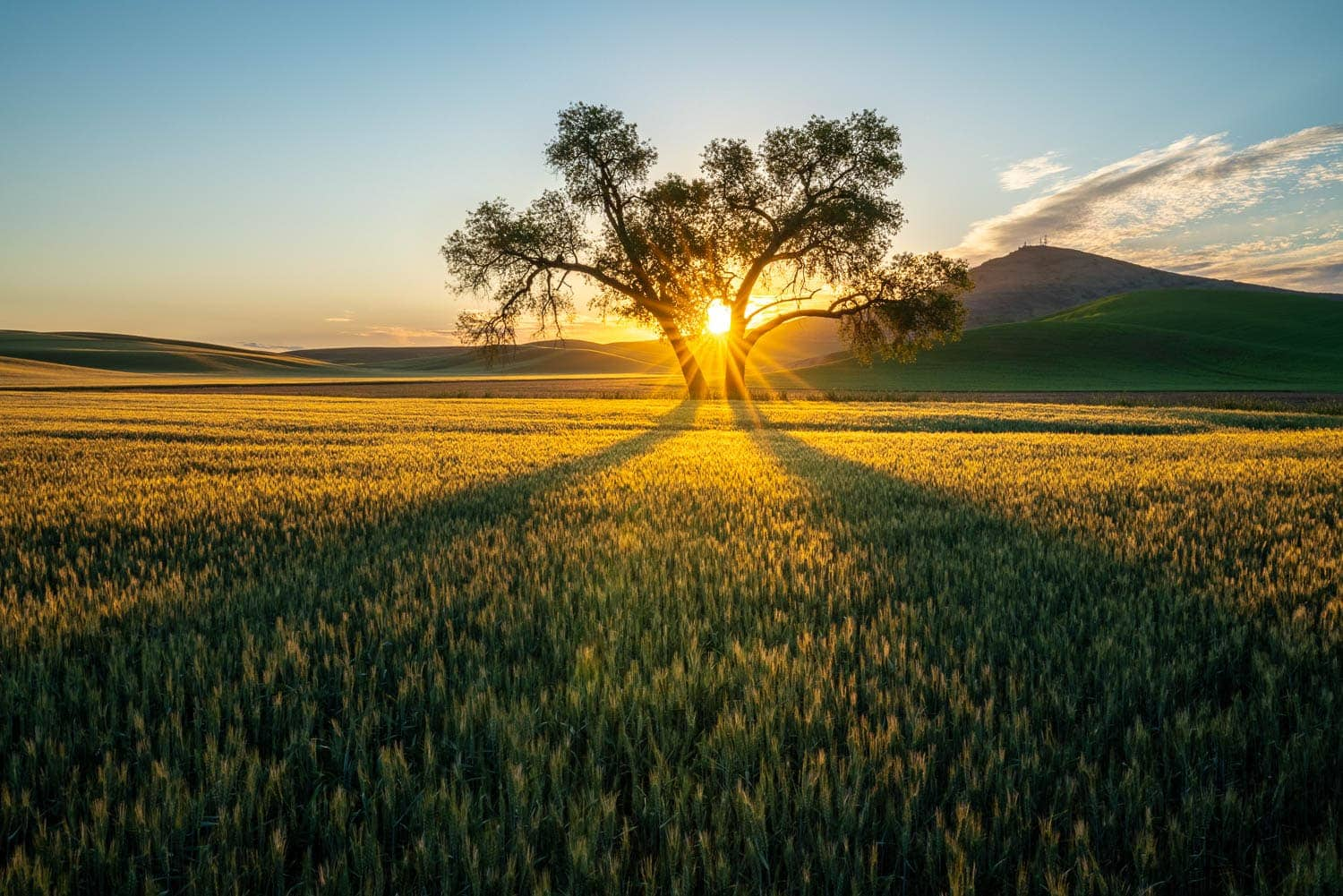 Sunrise through cottonwood tree in wheat field